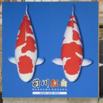 前川紅白の販売店になりました。